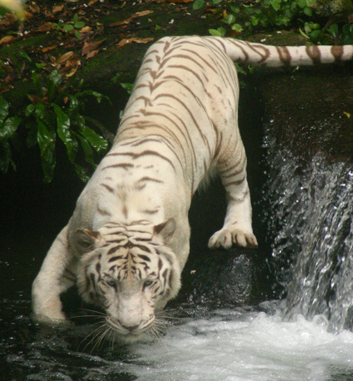 deformed white tiger pictures. baby white tiger wallpaper.